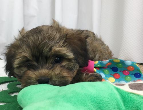 Winston Havanese Puppy