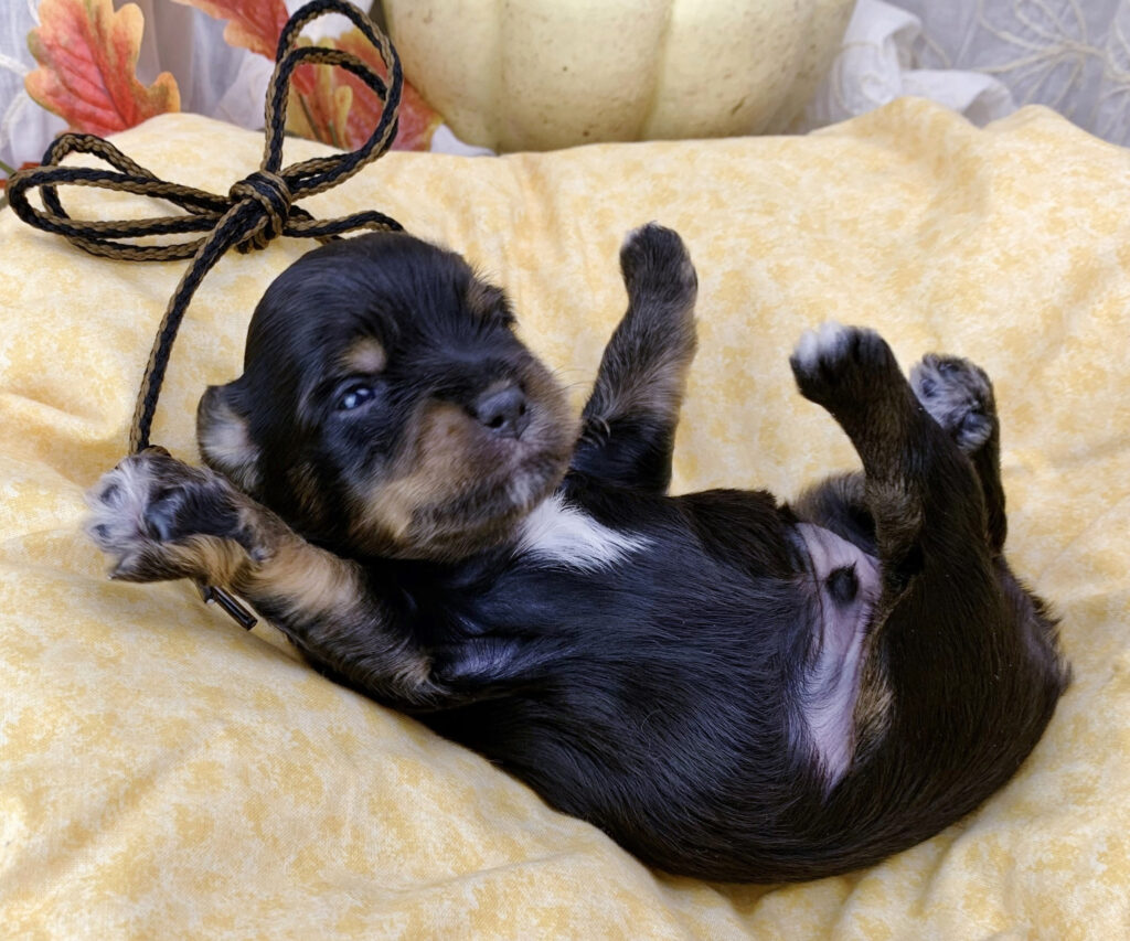 Havanese Puppies For Sale In Michigan Adopt A Havanese